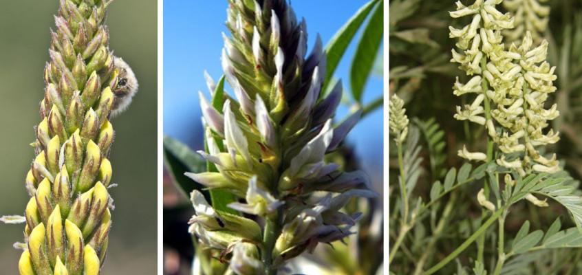 Crespi Milano Profumatore Ambiente proprietà della liquirizia pianta